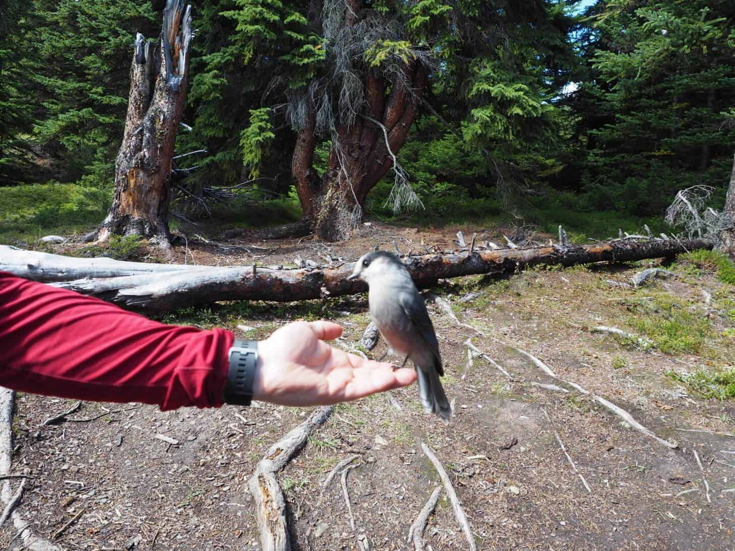 Skyline Trail: Little Shovel Campsite was home to some habituated Grey Jays.