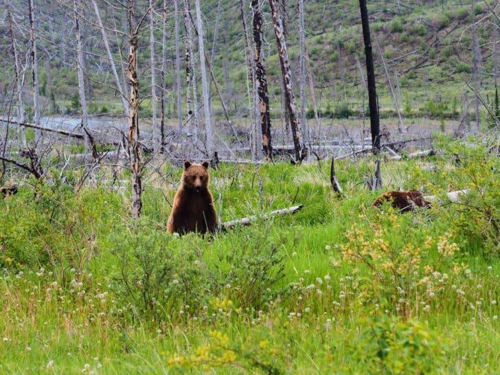 Nahanni River by Canoe: Grizzly Bear near Nordegg, Alberta.