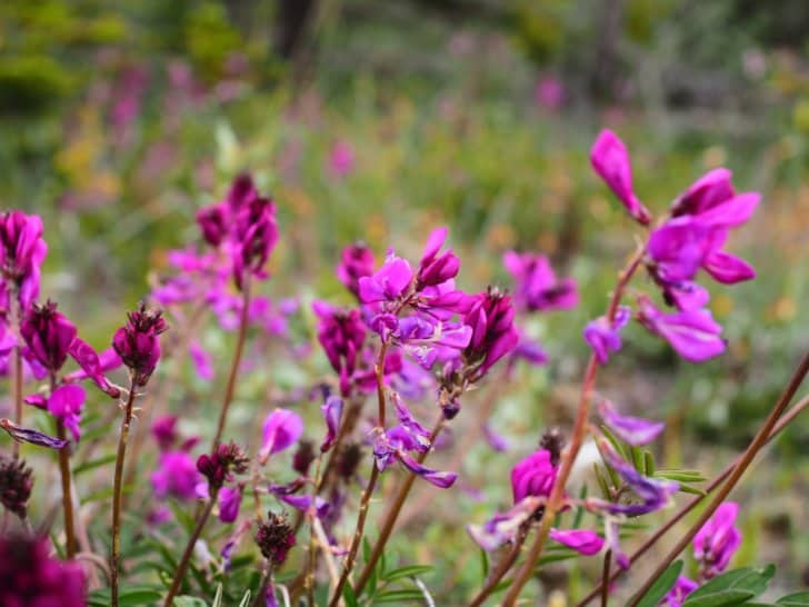 Nahanni River by Canoe: A patch of vetch flowers.