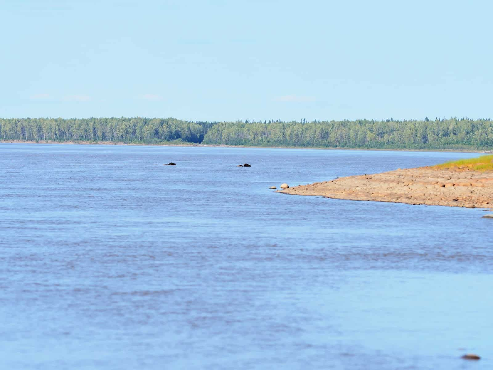 Nahanni River by Canoe: Two bison swimming in the Liard River