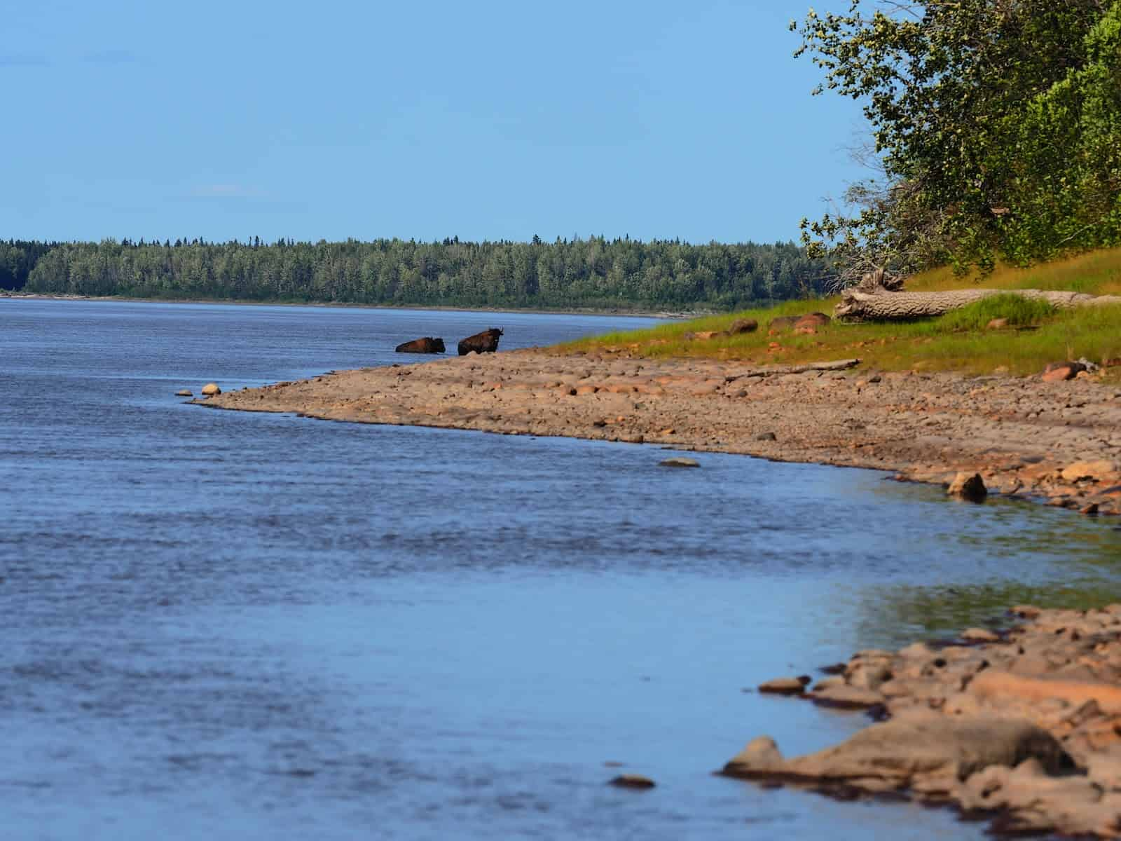 Nahanni River by Canoe: Bison on the banks of a river