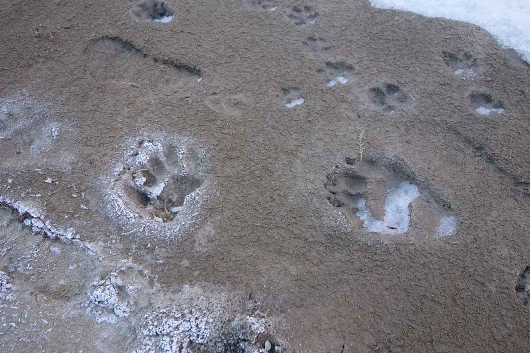 Bear, coyote, and human prints in the frozen mud.