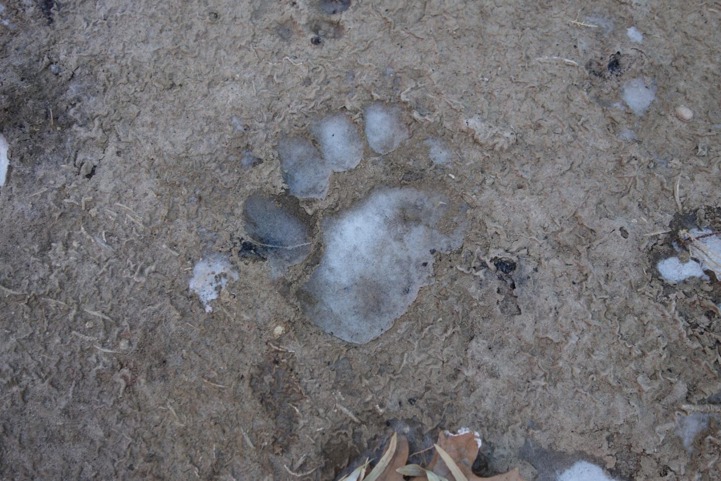 Ice in a bear print.