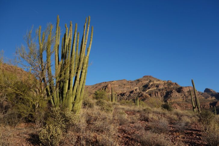 tall, narrow cactus in the foreground, mountains in the background