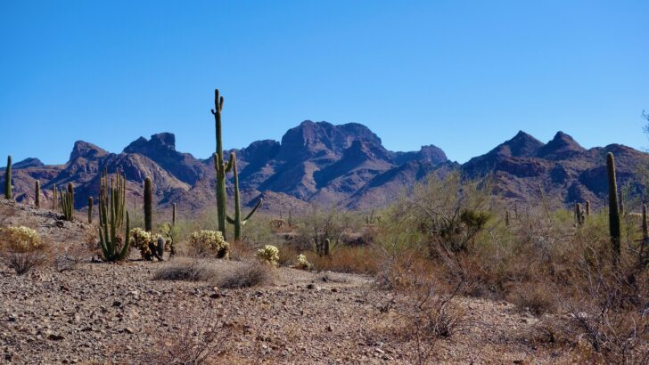 a range of mountains rises over organ pipe cactus