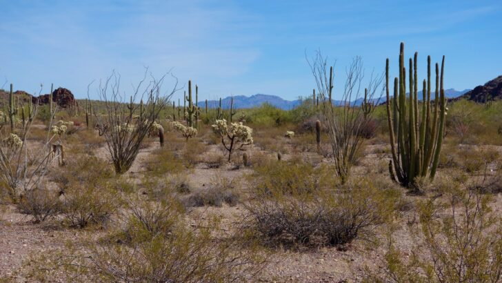 a desert landscape with cactus and mountains far in the distance