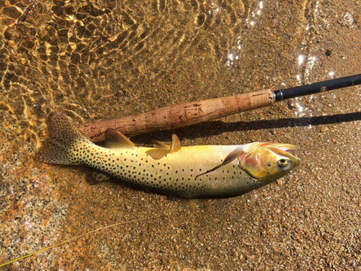 a small fish on shore next to a tenkara rod