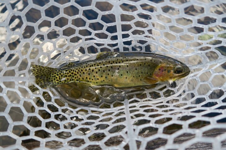 a trout in the bottom of a net