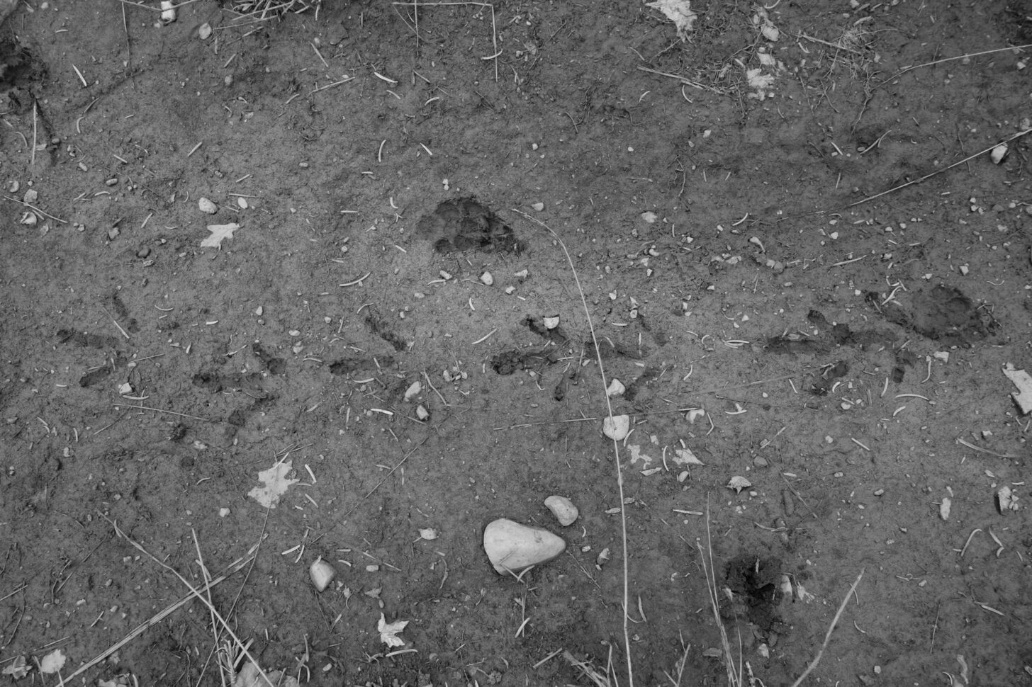 a black and white photo showing bird prints in the mud