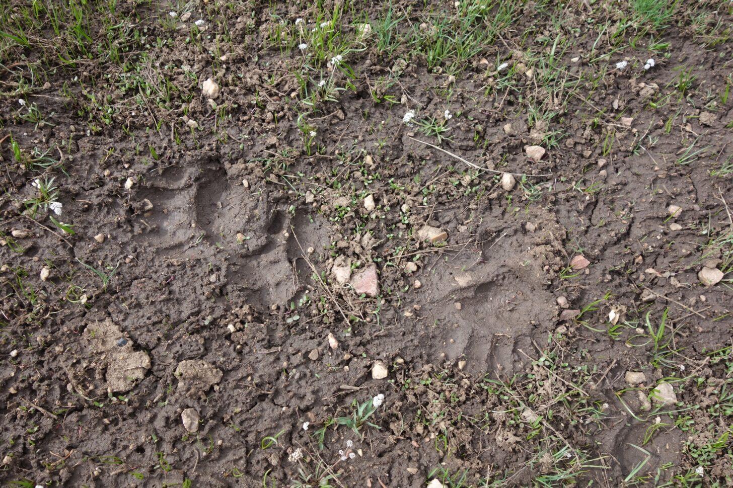 bear tracks in the mud