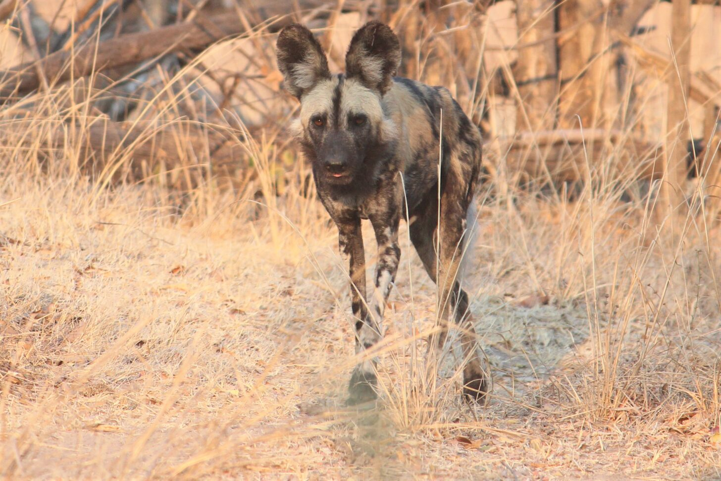a lean, beautifully colored wild dog stares at the camera