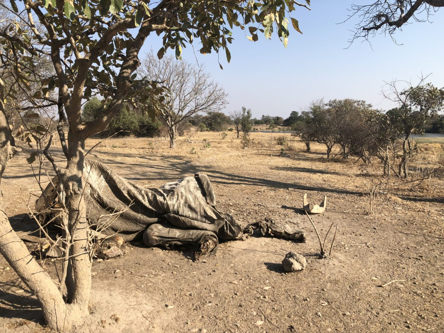 a withered elephant carcass rots away, almost shapeless
