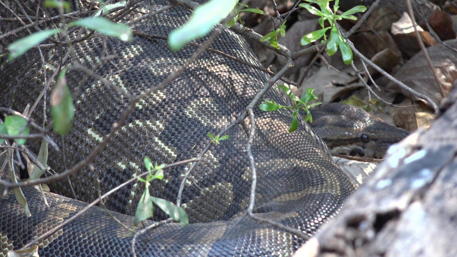 a close up of a snake hiding under some low brush.