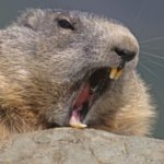 Profile picture of Marmot
